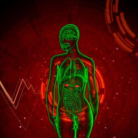 adrenal: 3d render medical illustration of the adrenal - back view