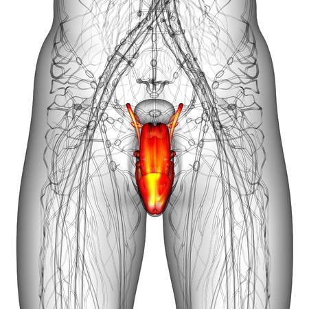 scrotum: 3d ilustraci�n del sistema reproductor masculino - vista frontal Foto de archivo