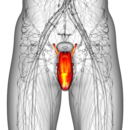 3d render illustration of the male reproductive system - front view illustration