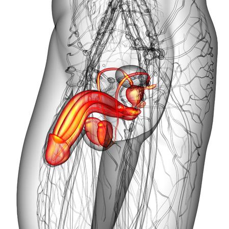 scrotum: 3d ilustraci�n del sistema reproductor masculino - vista lateral