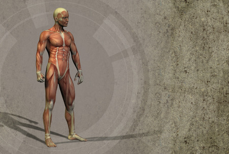 3d render illustration of the muscle - side view