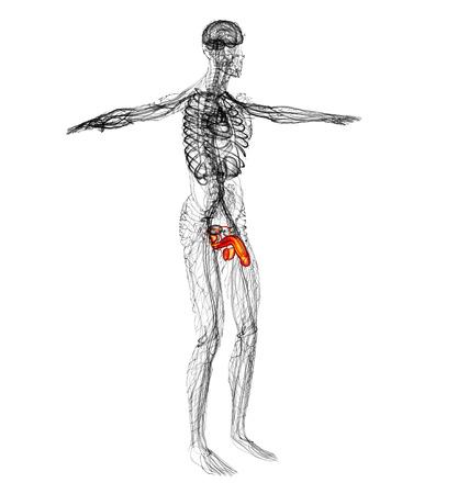 scrotum: 3d rendere l'illustrazione del sistema riproduttivo maschile - vista laterale Archivio Fotografico
