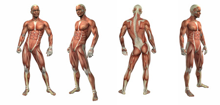 muscular system: 3d render illustration of the muscular system