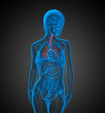 lung bronchus: 3D medical illustration of the  bronchi - front view Stock Photo