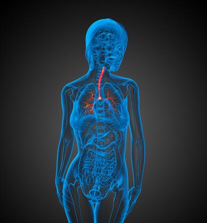 bronchi: Ilustraci�n m�dica en 3D de los bronquios - vista frontal Foto de archivo