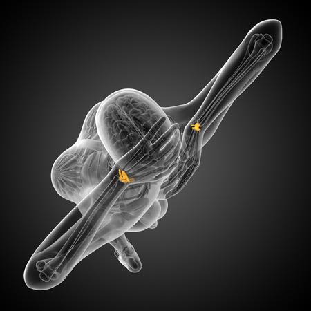 distal: 3d rendered illustration of the human carpal bones - top view