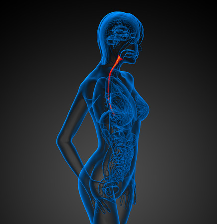 appendix: 3d rendered illustration of the esophagus - side view