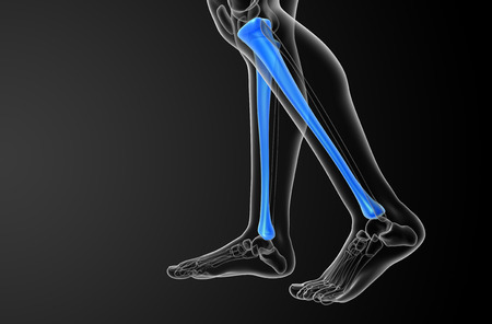 tibia: 3d render medical illustration of the tibia bone - side view Stock Photo