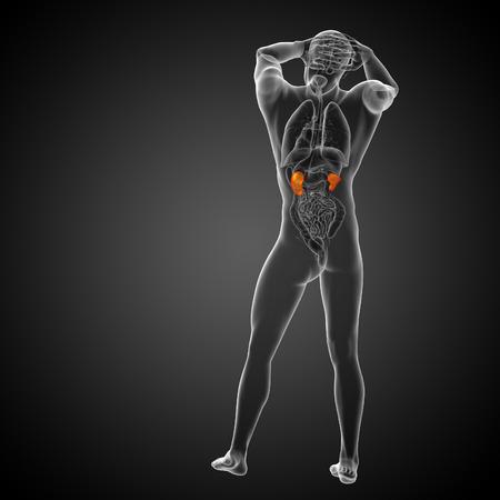 uretra: 3d ilustración médica del riñón humano - vista posterior