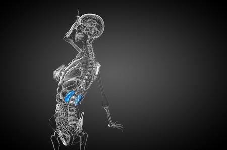 uretra: 3d ilustración médica del riñón humano - vista lateral