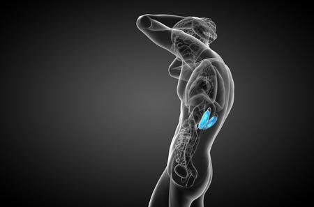 uretra: 3d ilustraci�n m�dica del ri��n humano - vista lateral