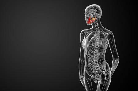 3d bone: 3d rendered illustration - jaw bone - back view