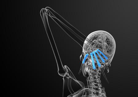 phalanx: 3d render medical illustration of the metacarpal bone - back view