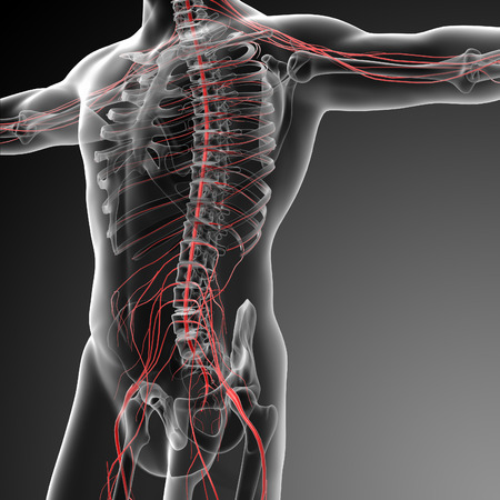sacral nerves: 3d rendered illustration of the male nervous system - side view