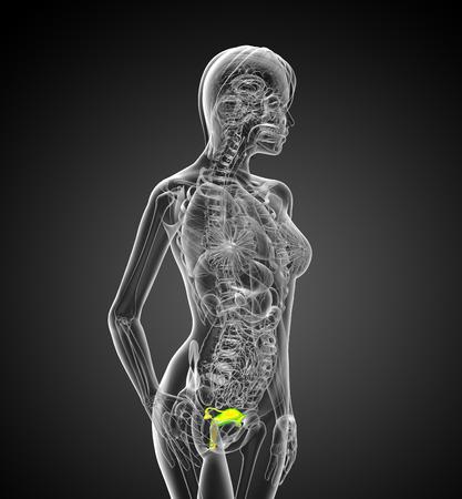 aparato reproductor: 3d ilustraci�n m�dica del sistema reproductivo - vista lateral