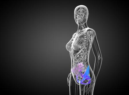 3d render medical illustration of the pelvis bone - side view illustration