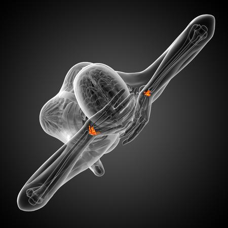 distal: 3d rindi� la ilustraci�n de los huesos del carpo humanos - vista desde arriba