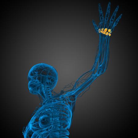distal: 3d rindi� la ilustraci�n de los huesos del carpo humanos - vista desde abajo