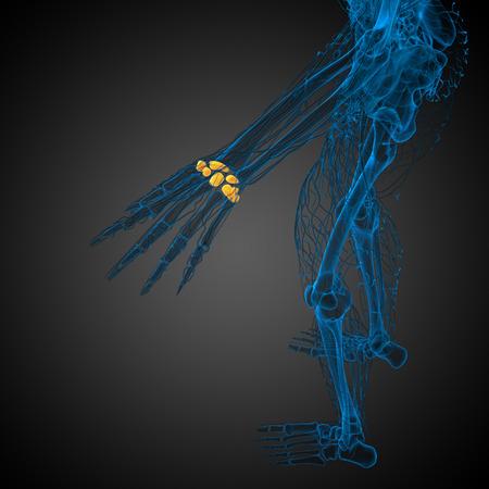 distal: Illustrazione di rendering 3D delle ossa carpali umane - vista dall'alto