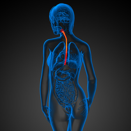 appendix: 3d rendered illustration of the esophagus - back view Stock Photo