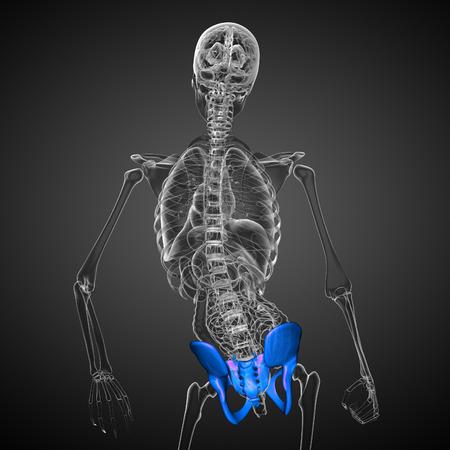 3D medical illustration of the pelvis bone illustration