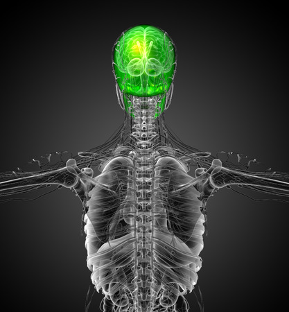 maxilla: 3d render medical illustration of the human skull - back view Stock Photo
