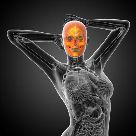 maxilla: 3d render medical illustration of the skull - front view