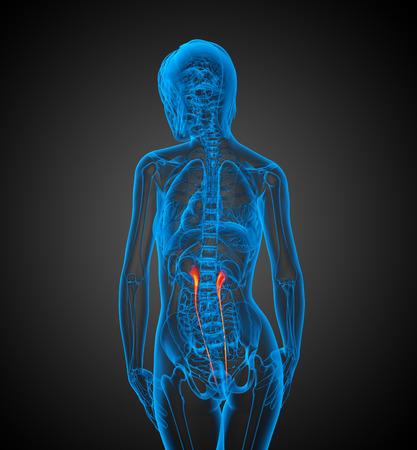 ureter: 3d render medical 3d illustration of the ureter - back view