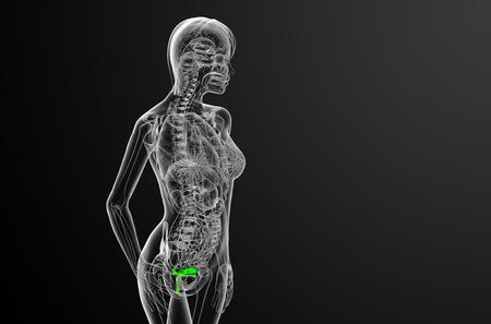 apparato riproduttore: 3D rendering illustrazione medica del sistema riproduttivo - vista laterale