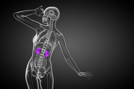 uretra: 3d ilustraci�n m�dica del ri��n humano - vista posterior