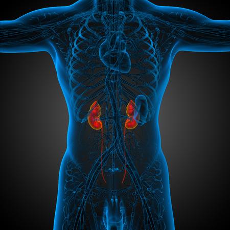 uretra: 3d ilustración médica del riñón humano - vista frontal