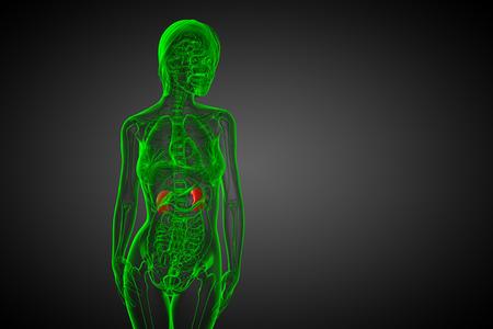 uretra: 3d ilustraci�n m�dica del ri��n humano - vista frontal