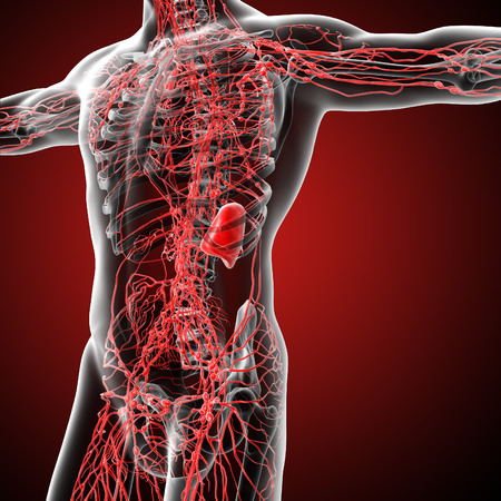 lymph: 3d render medical illustration of the lymphatic system - side view