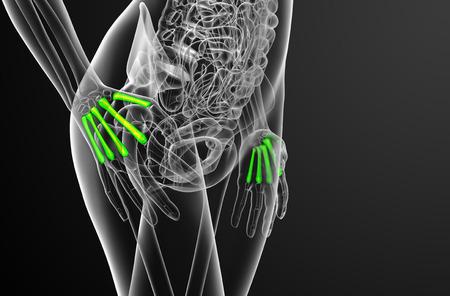 phalanx: 3d render medical illustration of the metacarpal bone - side view