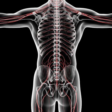 sacral nerves: 3d rendered illustration of the male nervous system - back view Stock Photo