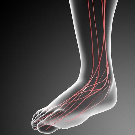 sacral nerves: 3d rendered illustration of the male nervous system - side view