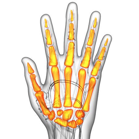 skeleton hand: 3d render illustration of the skeleton hand - bottom view Stock Photo