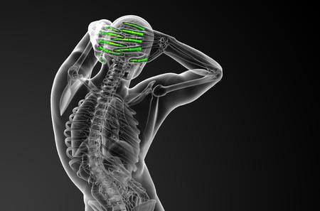 phalanges: 3d render illustration of the human phalanges hand - back view