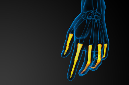 phalanges: 3d render illustration of the human phalanges hand - back view