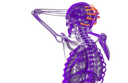 phalanges: 3d render illustration of the human phalanges hand - side view