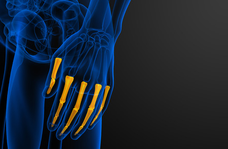 phalanges: 3d render illustration of the human phalanges hand - side view