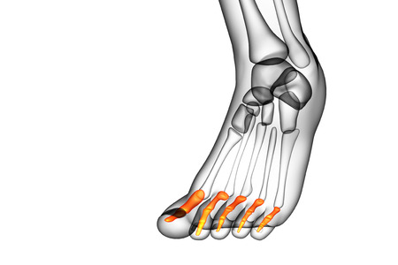 phalanges: 3d render medical illustration of the phalanges foot - front view