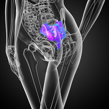coccyx bone: 3d render medical illustration of the female sacrum bone  - back view