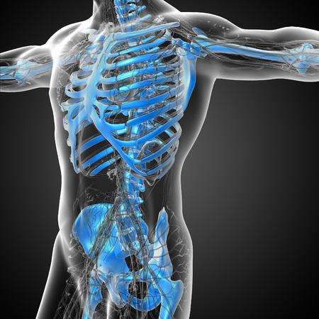 scheletro umano: 3D rendering illustrazione medica dello scheletro umano - vista laterale Archivio Fotografico
