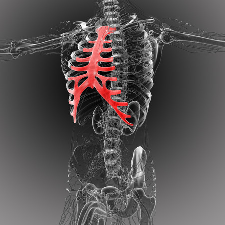sternum: 3d render medical illustration of the sternum and cartilage - side view