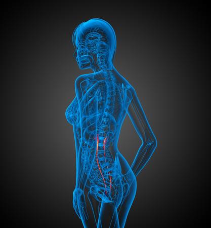 ureter: 3d render medical 3d illustration of the ureter - side view