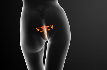 aparato reproductor: 3d ilustración médica del sistema reproductivo - vista posterior Foto de archivo