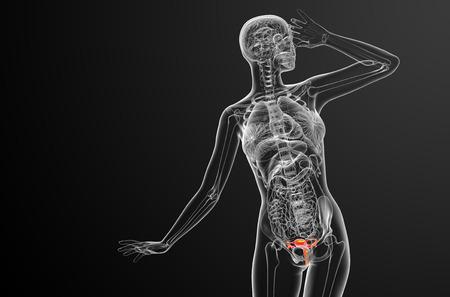 aparato reproductor: 3d ilustraci�n m�dica del sistema reproductivo - vista frontal
