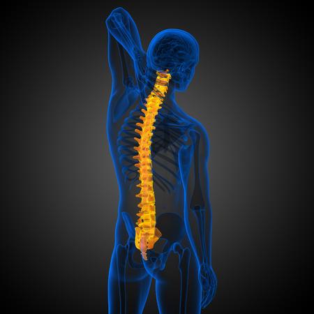 vertebra: 3d render medical illustration of the human spine - back view