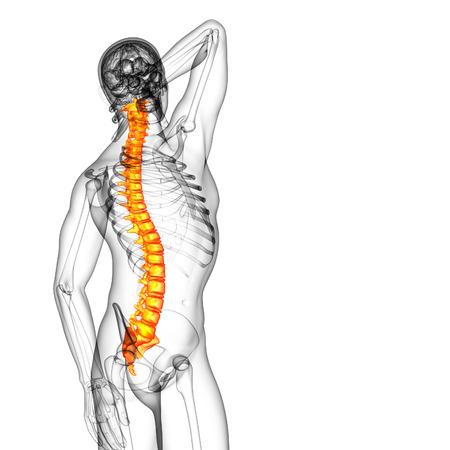 thoracic: 3d render medical illustration of the human spine - side view